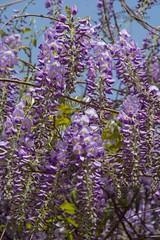 Jasmine (Stuart Jones - hope you like what you see.) Tags: china pink flower tree garden spring purple blossom jasmine scent