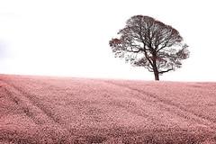Pink field (dareangel_2000) Tags: pink abstract tree field landscape northernireland codown pinkproject killyleagh ilovepink dariacasement killyleaghtree