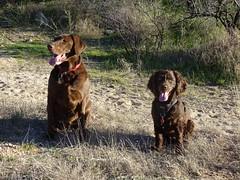 Jasper and Arlo (Roamster Rosalind Gardner) Tags: jasper chocolatelabrador boykinspaniel
