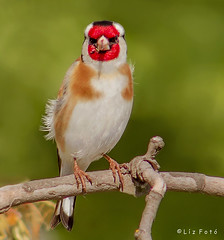 Goldfinch  (lajza27) Tags: tree bird love nature birds animal canon outdoors outdoor goldfinch lovelovelove  cardueliscarduelis carduelis beautifulbird