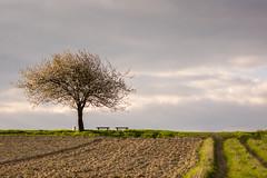 Enjoying cherry blossom.... (thunderbird-72) Tags: abend spring frankreich felder bank hund fr frhling spaziergang blten abendrot abendstimmung kirschbaum abendlicht launstroff steineandergrenze nikond7100 tamronaf70300mmf456divcusdif alsacechampagneardennelorraine alsacechampagneardennelorrain
