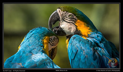 Blue and Gold Macaws (Leoa's  Photography) Tags: blue bird nature birds southafrica ilovenature outdoors gold outdoor parrot grooming monte macaw parrots macaws blueandgold montecasinobirdgarden bluegold leoasphotography