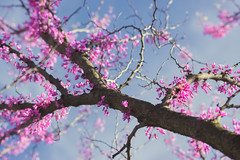 Happy Earth day 2016 (static_dynamic) Tags: plant tree spring bright sunny bluesky pointofview bloom earthday planetearth cerciscanadensis easternredbud
