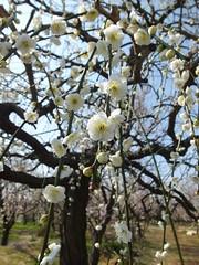 16i5236 (kimagurenote) Tags: apricot ume 梅 japaneseapricot ウメ prunusmume sogabairin 曽我梅林 神奈川県小田原市 odawarakanagawa
