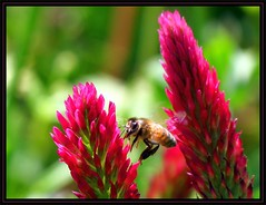IMG_1498 Betwixt & Between 4-24-16 (arkansas traveler) Tags: flowers nature zoom bokeh insects bugs bee telephoto bichos honeybee bokehlicious naturewatcher trifoliumrubens redreatherclover