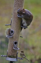 Split level feeding (Sundornvic) Tags: bird squirrel nuts feeder seeds feed robbery stealing