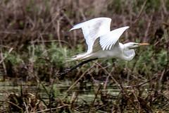 Great White Egret (backyardzoo) Tags: nest flight egret rookery nesting egrets nests