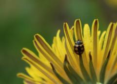 coccinelle (bulbocode909) Tags: fleurs jaune vert printemps insectes pissenlit coccinelles