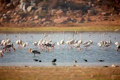 IMG_4164 (vsrkrishnan) Tags: birds flamingos mirrorlens manuallens tamaron 500mirrorlens reflectorlens ameenpur shivaramchefshivaram pelicansandpaintedstrokesatameenpurlake