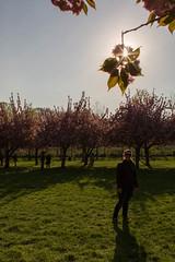 Brooklyn Botanic Garden (adrianmojica) Tags: flowers backlight brooklyn canon spring cherryblossoms canon5d backlit brooklynbotanicgarden magichour cherrytree goldenhour sunstar flowersplants cherryesplanade canoneos5dmarkiii canon5dmarkiii
