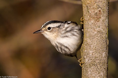 BJ8A4429-Black and White Warbler (tfells) Tags: new white black bird nature pine nj jersey barrens warbler passerine