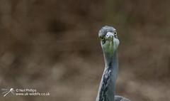 Grey Heron-7 (Neil Phillips) Tags: bird heron grey aves ardea longneck ardeacinerea longlegs ardeidae greyheron pelecaniformes cinerea neoaves