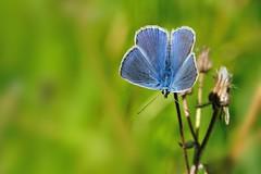 Licenide - la prima del 2016 (luporosso) Tags: naturaleza macro nature closeup butterfly nikon butterflies natura bugs papillon borboleta mariposa farfalla farfalle naturalmente licenide nikond300s licenidae