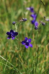 IMG_5558 (TMM Cotter) Tags: park haven oak bc victoria dandelion wildflower delphinium larkspur menziesii menzies hawksbeard