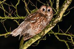 A Damp Tawny (ukmjk) Tags: wet nikon trent owl mm nikkor staffordshire stoke vr damp d500 tawny 200500