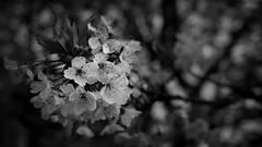 Blossoms   Black&White   Spring 2016 (Roland C. Vogt) Tags: lumix blackwhite spring blossoms olympus panasonic 20mm omd   markii 2016 f17 em5