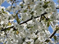 Apfelblten (Andr-DD) Tags: plant tree apple nature germany deutschland spring blossom saxony natur blossoms pflanze sachsen blte baum apfel frhling blten