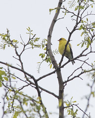 Goldfinch_52396 (gpferd) Tags: plant tree bird animal us unitedstates goldfinch maryland baltimore finch