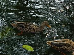 SAM_1689 (Balandrano David) Tags: parque fauna animales patos