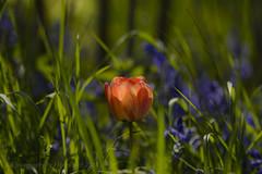 Bowl of Fire (hippyczich) Tags: flower bluebells bokeh depthoffield tulip bulbs