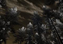 White.deceleration (c e d e r) Tags: sky blackandwhite nature contrast fir gran concept spruce ceder