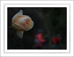 F_DSC7443-Nikon D800E-Nikkor 28-300mm-May Lee  (May-margy) Tags: flowers red blur rose woods bokeh taiwan protrait     taipeicity   missingyou       repofchina corridoroftime maymargy nikkor28300mm nikond800e maylee  mylensandmyimagination streetviewphotographytaiwan  naturalcoincidencethrumylens   linesformandlightandshadows fdsc7443