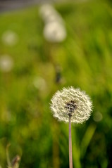 (Guido Giachetti) Tags: city parco plant flower detail nature cane san quiet details natura calm dandelion seeds di dettagli winged fiore piante leone calma dente città donato novoli dettaglio tarassaco soffione quiete cicoria ingrassaporci