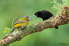 Passerini's tanager, Tangara grupirroja (Ramphocelus passerinii) (Sergio Bitran M) Tags: bird costarica ave 2016 passeriformes thraupidae ramphoceluspasserinii passerini´stanager tangaragrupirroja