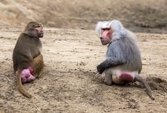 Macaque and baboon (Hans van der Boom) Tags: netherlands animal nederland baboon nl primate safaripark beeksebergen noordbrabant macaque hilvarenbeek hilarenbeek