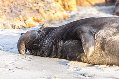 Elephant Seal at Ano Nuevo State Park-8001 ( / Jiayin Ma) Tags: california park elephant beach water 1 sand state wave route seal ao ano nuevo seaocean