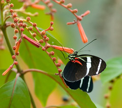 Antiochus Longwing (karenmelody) Tags: butterfly nymphalidae heliconiusantiochus antiochuslongwing