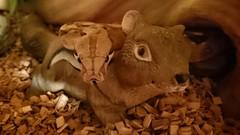 Buddies. (Sharon B Mott) Tags: pet nature animal buddies snake chipmunk ornamental boaconstrictor sonyxperiaz3