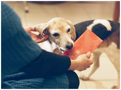 Mina bites the red envelope (New Year's Money) (MissingBeagle) Tags: new red dog money beagle canon 50mm sony envelope l years usm ef f12 ilce  a5100