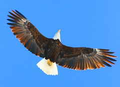 bald eagle at Lake Meyer Park IA 854A0869 (lreis_naturalist) Tags: park county lake eagle bald reis iowa larry meyer winneshiek