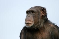 Chimpanzé (olivier.ghettem) Tags: portrait animal ape extérieur espagne primate valence afrique singe mammifère chimpanzé chimpancé animalsauvage bioparcvalencia