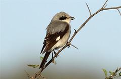 Lanius minor  (Lesser Grey Shrike) (Nick Dean1) Tags: southafrica predator krugernationalpark satara shrike birdwatcher predatorybird lessergreyshrike laniusminor thewonderfulworldofbirds birdperfect
