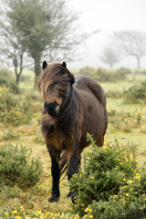 Dartmoor Pony (on Dartmoor) (markplymouth) Tags: uk winter wild england horse cold southwest cute nature animal canon nationalpark south plymouth pony devon bleak dartmoor canon6d markplymouth