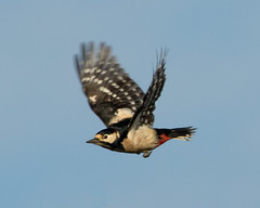 Great spotted woodpecker (wessyfiesta) Tags: birds woodpecker wildlife great flight spotted