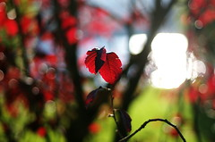 two leaves (Stefano Rugolo) Tags: pentaxk5 autumn 2015 bokeh lazio italy borgosanpietro foliage smcpentaxm50mmf17 light plant colors red blue green lake shimmer glitter lagodelsalto stefanorugolo