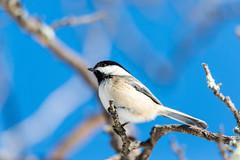 quabbinwinter2016-450 (gtxjimmy) Tags: winter bird nikon massachusetts newengland reservoir chickadee quabbin tamron songbird blackcapped quabbinreservoir d600 watersupply nikond600 150600mm