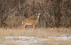 White Tail Deer (eharrisphotos) Tags: fauna colorado deer