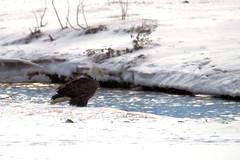 Bald Eagle (Kyle-W) Tags: snow bird america canon eagle baldeagle tamron t3i 150600
