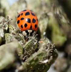 Harlequin Ladybird (Annette Rumbelow) Tags: depthoffield spots ladybird ladybug harlequin macroshots annetterumbelowwilson