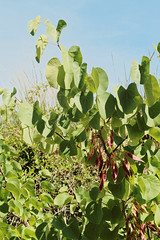 Cercis siliquastrum 1 (Bill Kirby1) Tags: summer plant france languedoc 2015