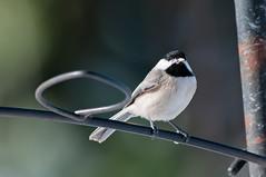I've got a snack! (martytdx) Tags: birds backyard adult nj chickadee carolinachickadee songbird haddonfield poecilecarolinensis poecile paridae blizzardof2016