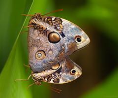 Opsiphanes tamarindi (Glenn van Windt) Tags: macro nature closeup insect butterflies natuur vlinders tropicalbutterfly opsiphanestamarindi lepidopterarhopalocera sigma180mm128apomacrodghsm narrowbandedowletbutterfly