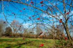 primi frutti (*magma*) Tags: nature country rosa natura campagna bacche canina frutti