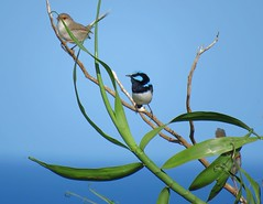 Malurus cyaneus 10 (barryaceae) Tags: nature island harbour reserve australia nsw coffs muttonbird ausbird ausbirds