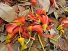 starr-120606-6864-Castanospermum_australe-flowers_on_ground-Kahanu_Gardens_Hana-Maui (Starr Environmental) Tags: castanospermumaustrale