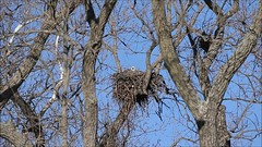 BALD EAGLE ON  A NEST CALLING TO ITS MATE, BROOKVILLE, INDIANA, FEBRUARY 29, 2016 (nsxbirder) Tags: video baldeagle indiana brookville whitewaterriver leveeroad